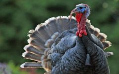 A large male wild turkey (Meleagris gallopavo), shot on Gabriola Island, British Columbia, Canada.